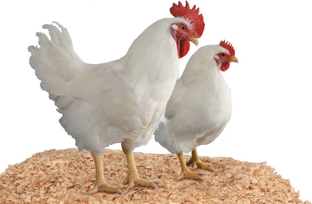Jenis Ayam Potong