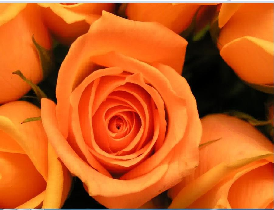 mawar-orange